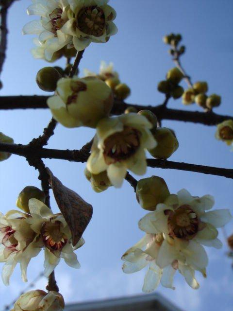 1  small plant of japan allspice,winter sweet گ�ا� ک��ک گ� �خ از