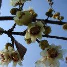 1  small plant of japan allspice,winter sweet گیاه کوچک گل یخ از