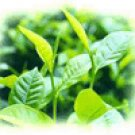 Green Tea Extract Polyphenols Instant Green Tea powder
