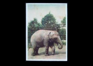 INDIAN ELEPHANT POSTCARD MOSCOW ZOO 1963