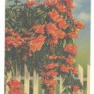 Florida Flower Flame Vine Vintage 1956 Linen Postcard
