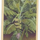 Banana Tree Bud and Fruit Florida Vintage 1943 Linen Postcard