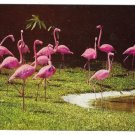 Florida Pink Flamingos Vintage Mike Roberts Postcard Hannau Photo