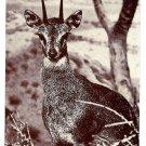 Klipspringer Antelope American Museum of Natural History Postcard