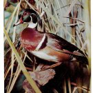 Wood Duck Philadelphia Academy of Natural Sciences Bird Postcard