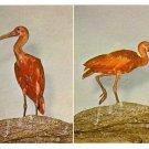 Philadelphia Zoological Gardens Scarlet Ibises Birds Zoo Postcard