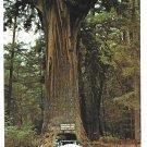 CA Redwood Chandelier Drive Thru Tree Leggett Rte 1 Vintage Postcard