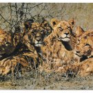 Young Lions Luanga Valley National Park Zambia Africa Big Cats Postcard