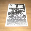 Vintage Two Baby Deer Photo Postcard