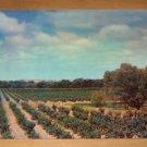 Vintage Typical California Grape Vineyard Postcard