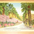 Vintage A Palm Lined Ave Cherry Blossoms & Orange Groves California Postcard