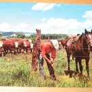 Vintage Cowboy Repairing Fence As Whiteface Cattle Graze Postcard