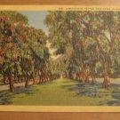Vintage A Beautiful Pepper Tree Drive California Postcard