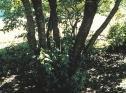 Buclkthorn Bark