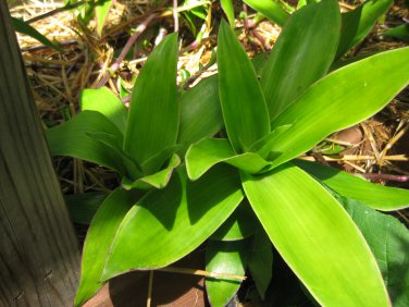 CALLISIA FRAGRANS FAMILY DOCTOR PLANT золо�ой ��