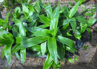 CALLISIA FRAGRANS Basket plant -  золо�ой ��