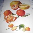 Vintage Botanical Lithograph-Citrus Oranges,Mandarine,Kumquat