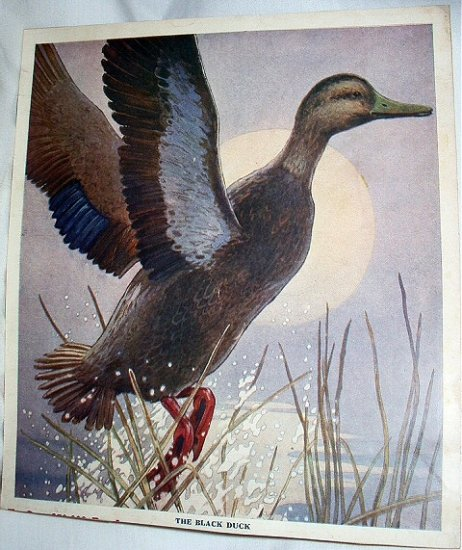 THE BLACK DUCK-Vintage Cabin Artwork Illustratioin
