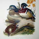 Wood Duck Snapping Turtle,Dead Tree Branch Artist Roger Tory Peterson Vintage Lithograph Print