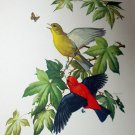 Scarlet Tanager Artist Roger Tory Peterson Vintage 1954 Lithograph Print