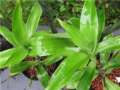 CALLISIA FRAGRANS FAMILY DOCTOR PLANT - ZOLOTOI YC