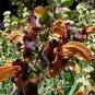 Salvia africana-lutea 9 seeds GOLDEN BEACH DUNE SAGE HARD2FIND