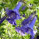 Iochroma Acnistus australis/australe 8 seeds RARE MINI BRIGHT BLUE BRUGMANSIA KIN