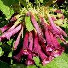 Iochroma cyaneum 'Plum Paradise' 10 seeds BRUGMANSIA KIN RARE SALE