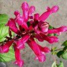 Salvia involucrata 'El Cielo' 10 seeds ROSEBUD ROSELEAF SAGE HARD2FIND