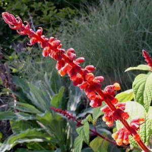 Salvia confertiflora 5 seeds BRAZILIAN ORANGE SAGE RARE