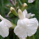 Salvia greggii 'Alba' 8 seeds WHITE AUTUMN SAGE HARD2FIND