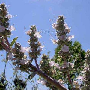 Salvia apiana 25 seeds WHITE SAGE HARD2FIND CALIFORNIA NATIVE SMOKE SACRED HERB