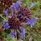 Salvia clevelandii 'Winifred Gilman' 10 seeds DARK BLUE CLEVELAND FRAGRANT CA SAGE RARE