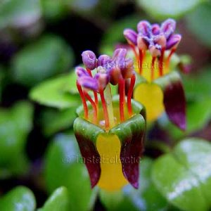 Fuchsia procumbens 20 seeds NEW ZEALAND CREEPING/SHORE RARE