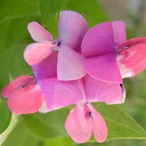 Dipogon lignosus 10 seeds CAPE SWEET PEA Dolichos HYACINTH BEAN VINE RARE Easy