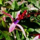 Fuchsia glazioviana 10 seeds EASY BRAZILIAN MITE RUST RESISTANT HARD2FIND