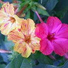 Mirabilis jalapa 'Kaleidoscope' 25 seeds SWIRLS FOUR O'CLOCK MARVEL OF PERU SALE