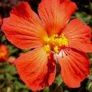 Pavonia rubra/missionum 5 seeds ORANGE SCARLET HIBISCUS V RARE