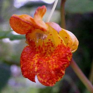 Impatiens capensis 5 seeds ORANGE SPOTTED Poison Ivy Cure Plant JEWELWEED HARD2FIND FRESH