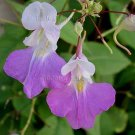 Impatiens balfouri 10 seeds POOR MAN ORCHID IMPATIENS Jewelweed HARD2FIND Z6 Hardy