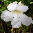 Pandorea jasminoides 'Lady Di' 20 seeds RARE WHITE Bower JASMINE VINE