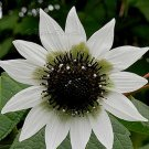Rojasianthe superba 5 seeds WHITE TREE SUNFLOWER V RARE BUT EASY
