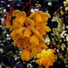 Berberis darwinii 11 seeds CALAFATE DARWIN's BARBERRY Tasty Fruits RARE
