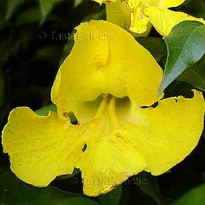 Macfadyena unguis-cati 25 seeds YELLOW TRUMPET CAT'S CLAW VINE HARD2FIND SALE