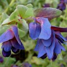 Cerinthe major purpurescens BLUE SHRIMP Purple Belle WAX PLANT Easy FRESH 12 seeds