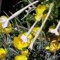 Nicotiana sylvestris 35 seeds SOUTH AMERICA WOODLAND TOBACCO Shooting Star