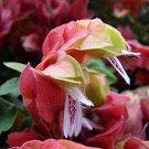 Justicia brandegeana 5 seeds BRONZE RED BRACTS Shrimp Plant V HARD2FIND