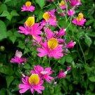 Schizanthus grahamii 10 seeds BRIGHT PINK CHILEAN BUTTERFLY FLOWER Hard2Find