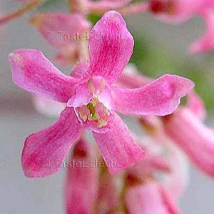 Ribes sanguineum PINK 20 seeds WINTER FLOWERING CURRANT Hard2Find