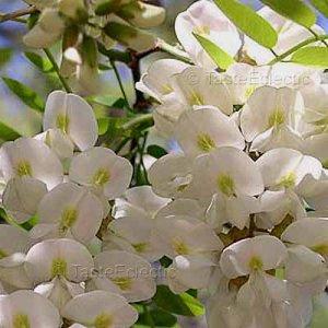 Robinia pseudoacacia 25 seeds BLACK LOCUST TREE White Wisteria-like FRESH SALE